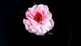 桃红色牡丹花,芍药属suffruticosa,隔绝在黑色 股票录像