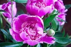 桃红色牡丹花 库存图片