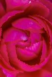 桃红色牡丹细节关闭 库存照片