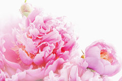 桃红色牡丹 库存图片