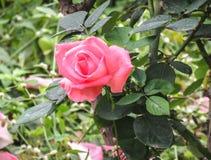 桃红色特写镜头上色了玫瑰色 库存照片