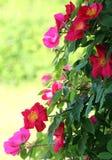 桃红色犬蔷薇 库存图片
