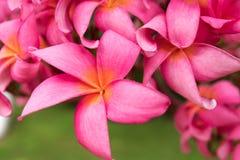 桃红色狂放的热带赤素馨花花特写镜头 免版税图库摄影
