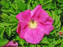 桃红色狂放的玫瑰色花 库存图片