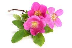 桃红色狗花上升了与叶子 免版税库存图片