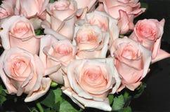桃红色玫瑰。 库存照片
