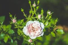 桃红色玫瑰一个巨大的分支  免版税库存照片