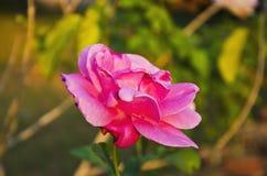桃红色玫瑰一 免版税库存图片