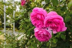 桃红色玫瑰三朵花  免版税库存照片