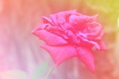 桃红色玫瑰为华伦泰` s天 库存照片
