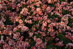 桃红色玫瑰分配为花坛的区域与绿色叶子的 库存照片