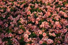 桃红色玫瑰分配为花坛的区域与绿色叶子的 库存图片
