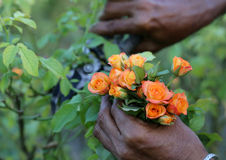 桃红色玫瑰切口与secateur的 库存照片