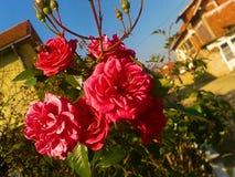 桃红色玫瑰和蜂 免版税库存照片