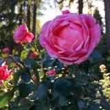 桃红色玫瑰园 库存图片