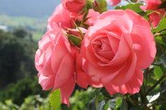 桃红色玫瑰在一个晴天 免版税库存照片