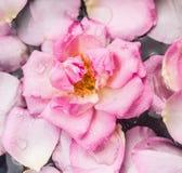 桃红色玫瑰在与下落和瓣的水中 库存照片
