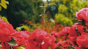 桃红色玫瑰在公园,花园,嫩玫瑰生长在庭院里的,与露水的花在瓣,环境美化 股票录像