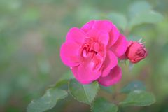 桃红色玫瑰在夏天庭院里 库存图片