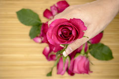 桃红色玫瑰在妇女的手上 免版税图库摄影
