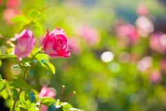 桃红色玫瑰在庭院里 免版税图库摄影