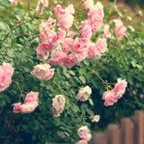 桃红色玫瑰在庭院里 免版税库存图片