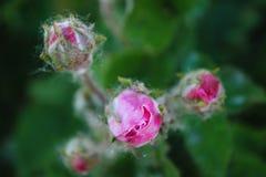 桃红色玫瑰在庭院,三朵玫瑰里开花 库存图片