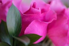 桃红色玫瑰在情人节 免版税图库摄影