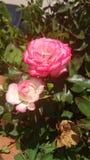 桃红色玫瑰在我的房子后院  库存照片