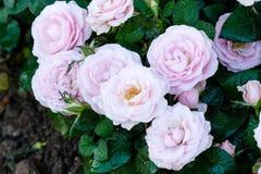 桃红色玫瑰在春天自然背景,花valentin中开花 库存图片