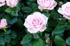 桃红色玫瑰在春天自然背景,花valentin中开花 库存照片
