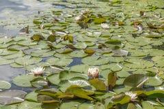 桃红色玫瑰在湖的一张叶子地毯开花 库存图片