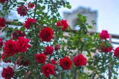 桃红色玫瑰在灌木庭院开花在夏天 免版税库存照片