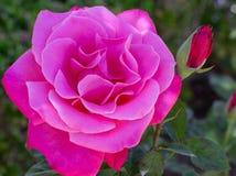 桃红色玫瑰在玫瑰园里 免版税库存图片