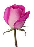 桃红色玫瑰头 库存照片