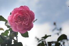 桃红色玫瑰在蓝天下 库存图片