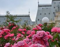 桃红色玫瑰在Iasi 免版税图库摄影
