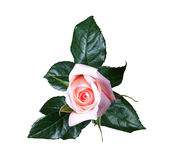 桃红色玫瑰孤立 免版税库存图片
