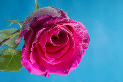 桃红色玫瑰宏观射击在水中与在蓝色的泡影 图库摄影
