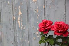 桃红色玫瑰对别致的蓝色墙壁 免版税图库摄影