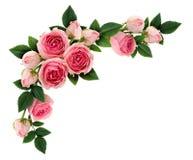 桃红色玫瑰开花并且发芽壁角安排 免版税库存图片