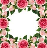 桃红色玫瑰开花并且发芽方形的框架 免版税库存图片
