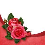 桃红色玫瑰开花构成 库存照片