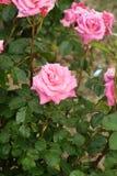 桃红色玫瑰开花西班牙 免版税库存照片