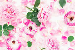 桃红色玫瑰开花,叶子和瓣在白色背景 平的位置,顶视图 免版税库存照片