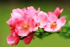桃红色玫瑰微小的花束  免版税库存图片
