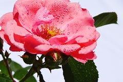 桃红色玫瑰技巧上面,在明亮的背景的Tantau 1963年与水滴在瓣的 免版税库存照片