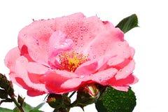 桃红色玫瑰技巧上面,在白色背景的Tantau 1963年与水滴在瓣的 免版税库存照片