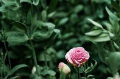 桃红色玫瑰有美好的深绿背景 库存照片