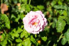 桃红色玫瑰模糊的背景在玫瑰园 免版税库存照片